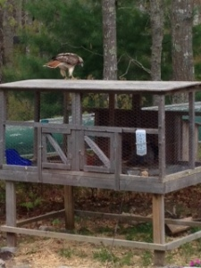 Our local hawk trying to make our bunnies his free meal